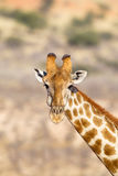 Giraffe head and neck in desert. A Giraffe (Giraffa camelopardalis) head and neck against a blurred natural background, Kalahari desert, South Africa Royalty Free Stock Photography