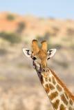 Giraffe head and neck in desert. A Giraffe (Giraffa camelopardalis) head and neck against a blurred natural background, Kalahari desert, South Africa Royalty Free Stock Image