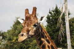 Giraffe head and Neck. Giraffe at Folly Farm Zoo Royalty Free Stock Photos