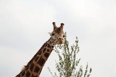 Giraffe head and Neck. Giraffe at Folly Farm Zoo Royalty Free Stock Photography
