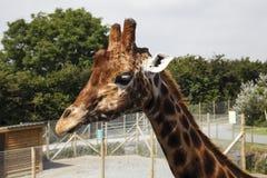 Giraffe head and Neck. Giraffe at Folly Farm Zoo Royalty Free Stock Images