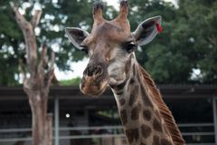 Giraffe head with neck Royalty Free Stock Images