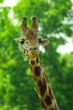 Giraffe head with neck isolated on green. Background Stock Photography
