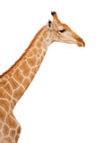 Giraffe Head and Neck Isolated. Profile of giraffe neck and head isolated on white Stock Image