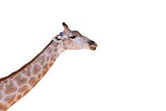 Giraffe head neck. Isolated on white background Stock Photo
