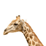 Giraffe head and neck. Isolated on white background Royalty Free Stock Image