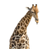Giraffe head and neck isolated. On white background Stock Photo