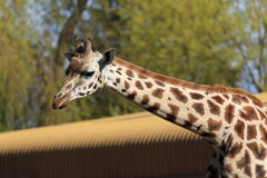 Giraffe head and Neck. The long neck and head of a Giraffe Stock Image