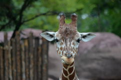 Giraffe head. And neck looking into camera and chewing Royalty Free Stock Photography
