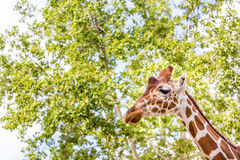 Giraffe head and neck. Profile of giraffe's head and neck with copy space for project Stock Photos