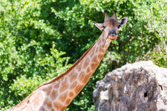 Giraffe head neck Royalty Free Stock Images