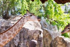Giraffe head neck. In public zoo Royalty Free Stock Image