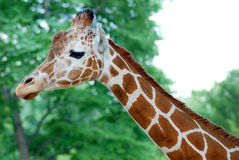 Giraffe Head-Neck. Side Profile Gentle Stock Photography