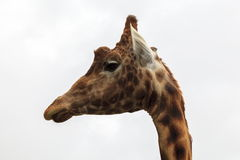 Giraffe head and Neck. Side view of Giraffe head and neck Royalty Free Stock Photos