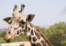 Giraffe head next to the leaves Royalty Free Stock Photography
