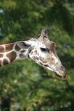 Giraffe head Royalty Free Stock Photos