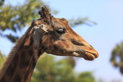 Giraffe head. Picture of a giraffe's head where the colors and details of this animal is African Royalty Free Stock Image