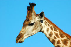 Giraffe head portrait. Male giraffe head against blue sky Royalty Free Stock Photography