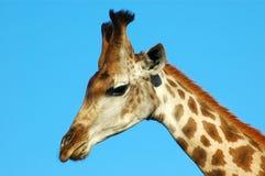 Giraffe head portrait Royalty Free Stock Photography