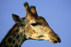 Giraffe head portrait Stock Images