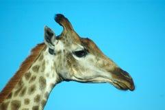 Giraffe head portrait Royalty Free Stock Image