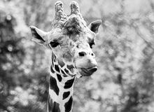 Giraffe head portrait. Black and white photo. Royalty Free Stock Photos