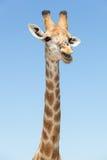 Giraffe head Royalty Free Stock Photo