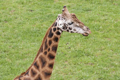 Giraffe. Head of Giraffe in prairie Royalty Free Stock Photography