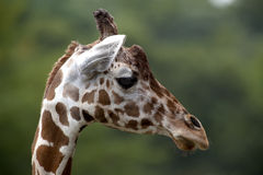 Giraffe head in profile Royalty Free Stock Images