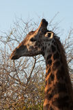 Giraffe head profile. Profile of a giraffe on a background of bush and light-blue sky Royalty Free Stock Photography