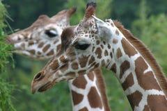 Giraffe head profile. Close up of two giraffe having some food royalty free stock image