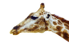 Giraffe head. Profile of giraffe head isolated in white background Royalty Free Stock Photography