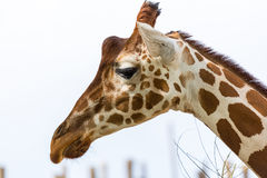 Giraffe head. Profile of a giraffe's head isolated from background Stock Image