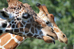Giraffe head in profile tongue out Stock Images