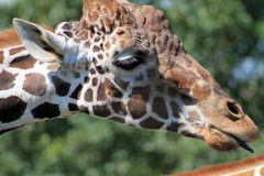 Giraffe head in profile tongue out Royalty Free Stock Photography