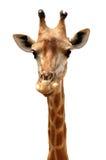 Giraffe head in public zoo. Royalty Free Stock Photos