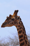 Giraffe Head - Safari Kenya. The majestic silhouette of the head of a giraffe, with a little bird laid on her forehead Stock Photo