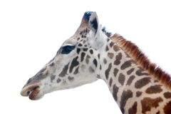 Giraffe head shot Stock Images