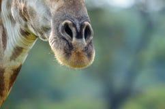 Giraffe nose close up. Giraffe head shot  close up of nose and nostrils Stock Photo