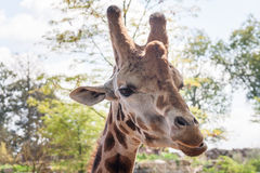 Giraffe head shot - horizontal Royalty Free Stock Photography