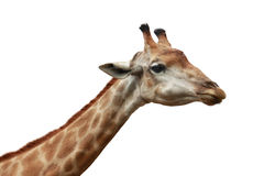 Giraffe head shot isolated background Royalty Free Stock Photo