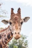 Giraffe head shot - vertical Stock Photography