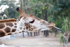 Giraffe Royalty Free Stock Photos
