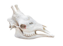 Giraffe head skull isolated on white background with clipping Stock Photo