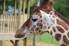 Giraffe. A head of giraffe standing tall Stock Photography