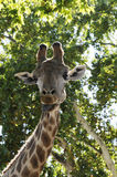 Giraffe Staring at Camera - Wild Animals - Africa Royalty Free Stock Image