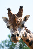 Giraffe head staring at camera. Royalty Free Stock Photography