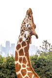 Giraffe Head Stretching against Overcast White Sky and Skyline Stock Photo