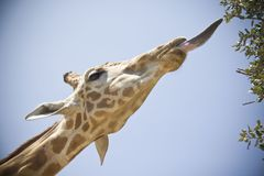 Giraffe head and tongue close up in south africa. Giraffe head and tongue close up, with a blue sky, in south africa royalty free stock image