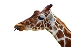 Giraffe head with tongue out. Funny giraffe head with tongue out isolated on white background Royalty Free Stock Photo
